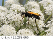 Купить «Female Spider wasp (Cryptocheilus variabilis) feeding on Wild carrot / Queen Anne's lace (Daucus carota) flowers, Lesbos/ Lesvos, Greece, May.», фото № 25289666, снято 3 июля 2020 г. (c) Nature Picture Library / Фотобанк Лори