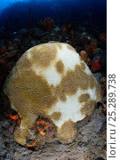 Купить «Coral bleaching. Symmetrical Brain Coral (Diploria strigosa) polyps in the white areas have expelled their zooxanthellae symbiotic algae, probably as a...», фото № 25289738, снято 20 августа 2018 г. (c) Nature Picture Library / Фотобанк Лори