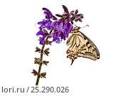Купить «Common Swallowtail butterfly (Papilio machaon) resting on Meadow Clary (Salvia pratensis) flowers, on a white background. Nordtirol, Tirol, Austrian Alps, Austria, 1700 metres altitude, July.», фото № 25290026, снято 16 февраля 2019 г. (c) Nature Picture Library / Фотобанк Лори