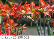 Купить «Eastern spinebill (Acanthorhynchus tenuirostris) male on lilies feeding on nectar, Atherton Tablelands, Queensland, Australia, October», фото № 25290662, снято 21 октября 2018 г. (c) Nature Picture Library / Фотобанк Лори