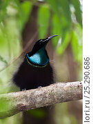 Купить «Magnificent riflebird (Ptiloris magnificus) male perched in rainforest, Iron Range National Park, Cape York Peninsula, North Queensland, Australia, November», фото № 25290686, снято 25 марта 2019 г. (c) Nature Picture Library / Фотобанк Лори