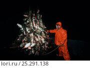 Купить «Fisherman with a dragger net overflowing with Atlantic codfish (Gadus morhua), Stellwagon Bank, New England, USA, Atlantic Ocean. Model released.», фото № 25291138, снято 21 августа 2018 г. (c) Nature Picture Library / Фотобанк Лори