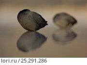 Купить «Coots (Fulica atra) resting at dawn. Derbyshire, UK, March.», фото № 25291286, снято 25 марта 2019 г. (c) Nature Picture Library / Фотобанк Лори