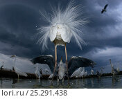 Купить «Confrontation between a great egret (Ardea alba) and grey heron (Ardea cinerea), Lake Csaj, Kiskunsagi National Park, Hungary.», фото № 25291438, снято 26 марта 2019 г. (c) Nature Picture Library / Фотобанк Лори