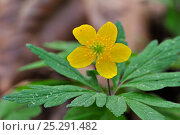 Купить «Yellow Wood Anemone / Buttercup Anemone (Anemone ranunculoides) in flower. Luxembourg, April.», фото № 25291482, снято 22 июля 2018 г. (c) Nature Picture Library / Фотобанк Лори