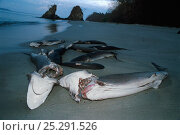 Купить «Sharks finned alive and thrown overboard to drown and wash up on beach. Costa Rica, Pacific Ocean.», фото № 25291526, снято 24 сентября 2018 г. (c) Nature Picture Library / Фотобанк Лори