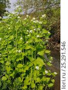Купить «Garlic Mustard / Hedge Garlic / Jack by the Hedge (Alliaria petiolata) flowering on a river bank. Wiltshire, UK, April.», фото № 25291546, снято 21 октября 2018 г. (c) Nature Picture Library / Фотобанк Лори