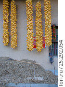 Купить «Corn (Zea mais / mays) hanging outside a Chinese farm house. Zhouzhi Nature Reserve, Shaanxi, China, October 2006.», фото № 25292054, снято 16 декабря 2018 г. (c) Nature Picture Library / Фотобанк Лори
