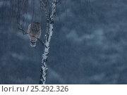 Купить «Ural Owl (Strix uralensis) perched. Bieszczady National Park, the Carpathians, Poland, December.», фото № 25292326, снято 25 марта 2019 г. (c) Nature Picture Library / Фотобанк Лори
