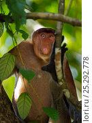 Купить «Proboscis monkey (Nasalia larvatus) mature male sitting in a tree, Bako National Park, Sarawak, Borneo, Malaysia, April», фото № 25292778, снято 14 октября 2019 г. (c) Nature Picture Library / Фотобанк Лори