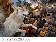 Купить «Stuffed Grey wolf (Canis lupus) as part of shop trophy animal selection, Jackson Hole, Wyoming, USA, September 2008», фото № 25293306, снято 17 февраля 2020 г. (c) Nature Picture Library / Фотобанк Лори