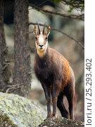 Chamois (Rupicapra rupicapra) portrait. Gran Paradiso National Park, Alps, Italy, April. Стоковое фото, фотограф Inaki Relanzon / Nature Picture Library / Фотобанк Лори