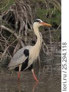 Купить «Grey Heron (Ardea cinerea) walking in shallow water. The Camargue, France, April.», фото № 25294118, снято 6 декабря 2019 г. (c) Nature Picture Library / Фотобанк Лори