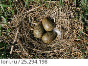 Купить «Black-headed Gull (Chroicocephalus ridibundus) nest with eggs. Vistula Rivar, Mazovia, Poland, May.», фото № 25294198, снято 20 июля 2018 г. (c) Nature Picture Library / Фотобанк Лори