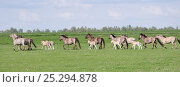 Купить «Konik horses (Equus caballus) -  wild Konik breeding stallion driving his band of mares and foals, Millingerwaard nature reserve, Netherlands, April», фото № 25294878, снято 27 мая 2018 г. (c) Nature Picture Library / Фотобанк Лори
