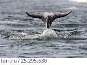 Купить «A Narwhal (Monodon monoceros) tail above the sea surface. Baffin Island, Nunavut, Canada, June.», фото № 25295530, снято 26 апреля 2019 г. (c) Nature Picture Library / Фотобанк Лори