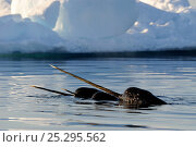 Narwhal (Monodon monoceros) showing tusks above water surface. Baffin Island, Nunavut, Canada, June. Стоковое фото, фотограф Eric Baccega / Nature Picture Library / Фотобанк Лори