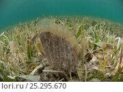 Купить «Amber penshell (Pinna carnea) amongst sea grass, Coral Reef Island, Belize Barrier Reef, Belize», фото № 25295670, снято 15 декабря 2017 г. (c) Nature Picture Library / Фотобанк Лори
