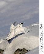 Купить «Ptarmigan (Lagopus mutus) males perching on snow-covered rocks. Kiiruna, Utsjoki, Finland, April. Magic Moments book plate, page 112.», фото № 25295754, снято 23 июля 2018 г. (c) Nature Picture Library / Фотобанк Лори