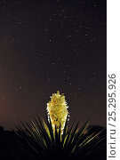 Купить «RF- Trecul Yucca, Spanish Dagger (Yucca treculeana), blossom with night stars. Laredo, Webb County, South Texas, USA. April.», фото № 25295926, снято 22 июля 2018 г. (c) Nature Picture Library / Фотобанк Лори