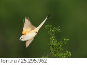 Купить «Scissor-tailed Flycatcher (Tyrannus forficatus), adult female in flight. Laredo, Webb County, South Texas, USA, April.», фото № 25295962, снято 27 мая 2018 г. (c) Nature Picture Library / Фотобанк Лори