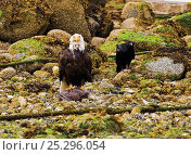 Купить «An American Bald Eagle (Haliaeetus leucocephalus) with remains of fish prey while a crow waits for scraps. Ucluelet, Vancouver Island, Canada, June.», фото № 25296054, снято 17 января 2018 г. (c) Nature Picture Library / Фотобанк Лори