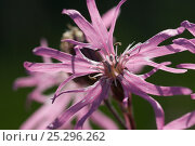 Купить «Ragged robin (Silene flos-cuculi) flowers, Norfolk, UK, June», фото № 25296262, снято 20 июня 2018 г. (c) Nature Picture Library / Фотобанк Лори