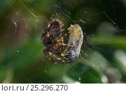 Купить «Garden spider (Araneus diadematus) with Common wasp (Vespula vulgaris) prey wrapped up on web, Somerset, UK, September», фото № 25296270, снято 26 сентября 2018 г. (c) Nature Picture Library / Фотобанк Лори