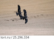 Купить «Two Black Kites (Milvus migrans) in flight. Vosges, France, April.», фото № 25296334, снято 25 апреля 2019 г. (c) Nature Picture Library / Фотобанк Лори