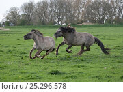 Купить «Konik horses (Equus caballus) - wild Konik breeding stallion chasing one of his mares to bring her back in his band, Millingerwaard nature reserve, Netherlands, April», фото № 25296578, снято 27 мая 2018 г. (c) Nature Picture Library / Фотобанк Лори