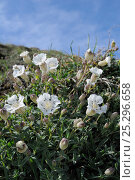 Купить «Sea Campion (Silene uniflora) flowering in a clump. Pentire Head, near Polzeath, Cornwall, April.», фото № 25296658, снято 19 февраля 2019 г. (c) Nature Picture Library / Фотобанк Лори
