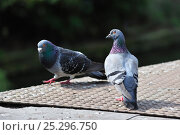 Купить «Feral pigeons / Rock doves (Columba livia)  Belgium, April.», фото № 25296750, снято 19 августа 2018 г. (c) Nature Picture Library / Фотобанк Лори