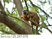 Купить «Silvery-brown / Bare-face  / White-footed Tamarin (Saguinus bicolor / leucopus) in canopy with food in its hand. The basin of rivers Cauca and Magdalena, Colombia. Threatened species.», фото № 25297078, снято 21 июля 2018 г. (c) Nature Picture Library / Фотобанк Лори