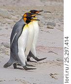Купить «King Penguin (Aptenodytes patagonicus) trio walking in line beside each other on a beach. Falkland Islands, South Atlantic Islands, December.», фото № 25297414, снято 26 марта 2019 г. (c) Nature Picture Library / Фотобанк Лори