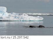 Купить «Narwhal (Monodon monoceros) showing tusks above water surface. Baffin Island, Nunavut, Canada, June.», фото № 25297542, снято 26 апреля 2019 г. (c) Nature Picture Library / Фотобанк Лори