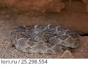 Купить «Western Diamond-backed Rattlesnake (Crotalus atrox) emerging from winter hibernation site. Sonoran desert, Arizona, March.», фото № 25298554, снято 24 апреля 2018 г. (c) Nature Picture Library / Фотобанк Лори