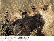 Купить «African lion (Panthera leo) lioness killing a Buffalo (Syncerus caffer), Okavango Delta, Botswana, July», фото № 25298662, снято 22 января 2019 г. (c) Nature Picture Library / Фотобанк Лори