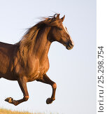 Купить «Chestnut Paso peruvian stallion running, California, USA», фото № 25298754, снято 19 сентября 2018 г. (c) Nature Picture Library / Фотобанк Лори