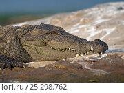 Купить «Marsh Crocodile or Mugger (Crocodylus palustris) resting on river bank. Cauvery River, Karnataka, India.», фото № 25298762, снято 25 мая 2019 г. (c) Nature Picture Library / Фотобанк Лори