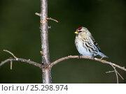 Купить «Common Redpoll (Carduelis flammea) female perching on branch. Quebec, Canada, January.», фото № 25298974, снято 2 июня 2020 г. (c) Nature Picture Library / Фотобанк Лори