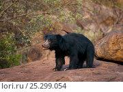 Купить «An old male Sloth Bear (Melursus ursinus) in his habitat. Karnataka, India, April.», фото № 25299054, снято 25 мая 2019 г. (c) Nature Picture Library / Фотобанк Лори