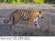 Купить «Tiger (Panthera tigris) male in profile. Bandhavgarh National Park, India.», фото № 25299262, снято 25 мая 2019 г. (c) Nature Picture Library / Фотобанк Лори