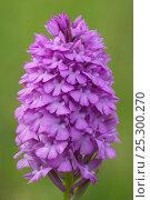 Купить «Pyramidal orchid (Anacamptis pyramidalis) Europe», фото № 25300270, снято 23 июля 2018 г. (c) Nature Picture Library / Фотобанк Лори