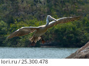 Купить «Spot-billed Pelican or Grey Pelican (Pelecanus philippensis) in flight. Karnataka, India.», фото № 25300478, снято 26 марта 2019 г. (c) Nature Picture Library / Фотобанк Лори