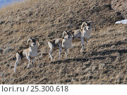 Three Tien Shan Argali (Ovis ammon karelini) in their habitat. Naryn National Park, Kyrgyzstan, Central Asia, November. Стоковое фото, фотограф Eric Dragesco / Nature Picture Library / Фотобанк Лори