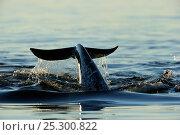 Купить «Narwhal (Monodon monoceros) flipping its tail. Baffin Island, Nunavut, Canada, June.», фото № 25300822, снято 26 апреля 2019 г. (c) Nature Picture Library / Фотобанк Лори