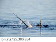 Купить «Narwhal (Monodon monoceros) showing tusks above water surface. Baffin Island, Nunavut, Canada, June.», фото № 25300834, снято 26 апреля 2019 г. (c) Nature Picture Library / Фотобанк Лори