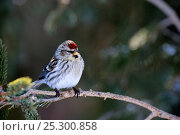 Купить «Common Redpoll (Carduelis flammea) female perching on branch. Quebec, Canada, January.», фото № 25300858, снято 2 июня 2020 г. (c) Nature Picture Library / Фотобанк Лори