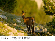 Chamois (Rupicapra rupicapra) looking over its shoulder. Cad' Pedraforca Nature Reserve, Barcelona province, Catalonia, Spain, July. Стоковое фото, фотограф Inaki Relanzon / Nature Picture Library / Фотобанк Лори