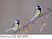Купить «A pair of Great Tits (Parus major) perching on a twig. Bavaria, Germany, January.», фото № 25301470, снято 24 июня 2018 г. (c) Nature Picture Library / Фотобанк Лори